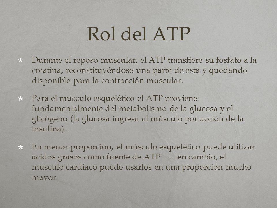 Rol del ATP Durante el reposo muscular, el ATP transfiere su fosfato a la creatina, reconstituyéndose una parte de esta y quedando disponible para la