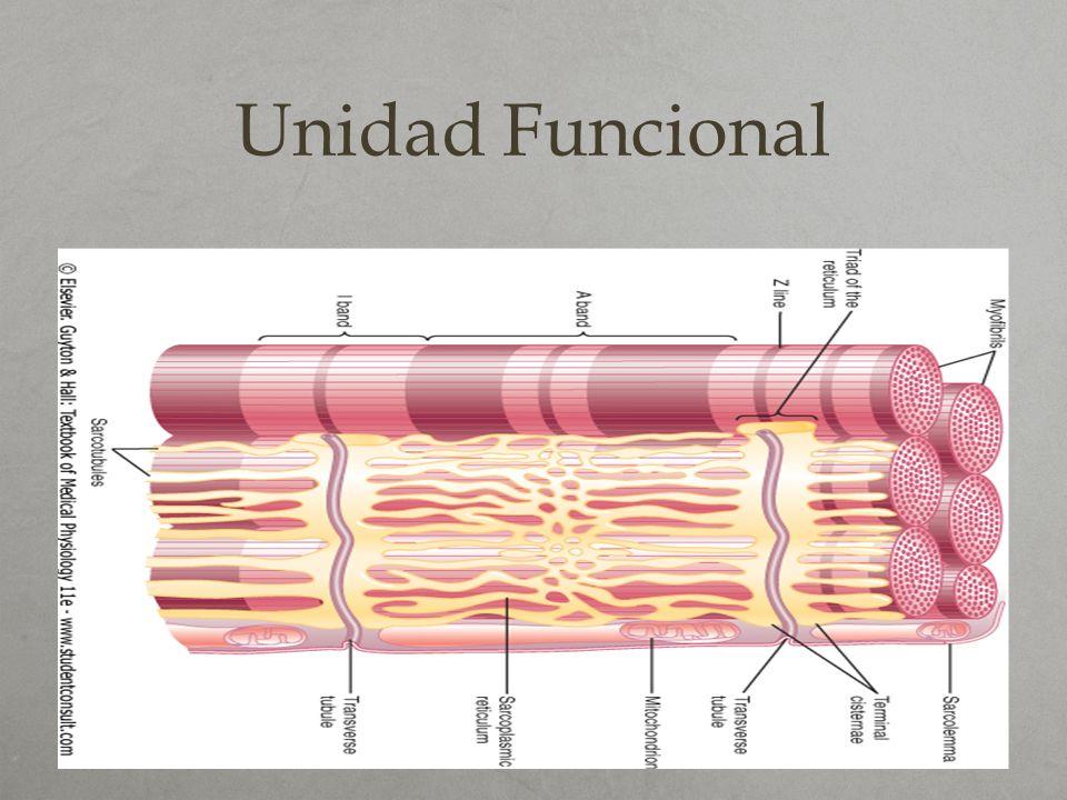 Ultraestructura Si utilizamos medios de imagen más potentes (microscopio electrónico) podremos ver que a su vez cada miofibrilla está compuesta por 2 tipos de filamentos : - Gruesos : de aproximadamente 16 nm de diámetro y que corresponden a miosina.
