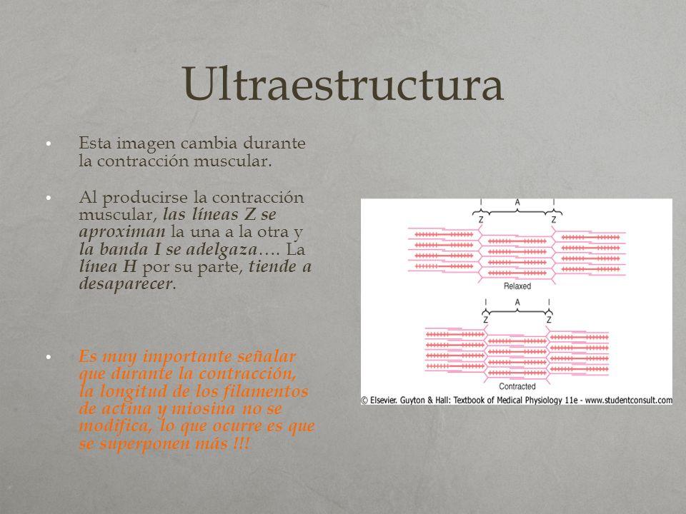 Ultraestructura Esta imagen cambia durante la contracción muscular. Al producirse la contracción muscular, las líneas Z se aproximan la una a la otra
