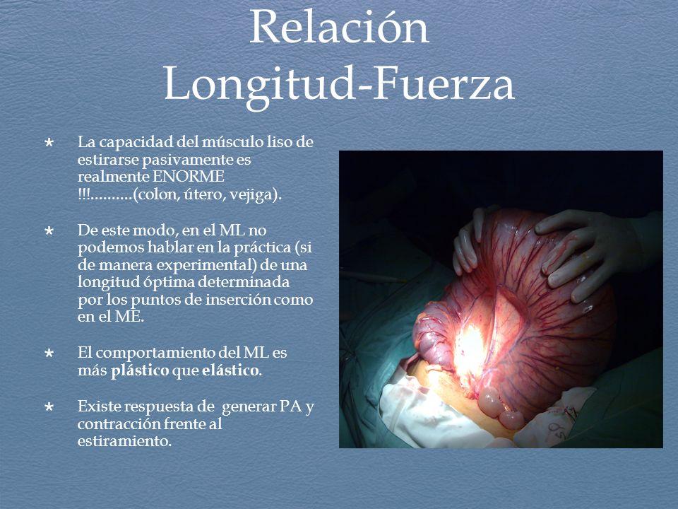 Relación Longitud-Fuerza La capacidad del músculo liso de estirarse pasivamente es realmente ENORME !!!..........(colon, útero, vejiga). De este modo,