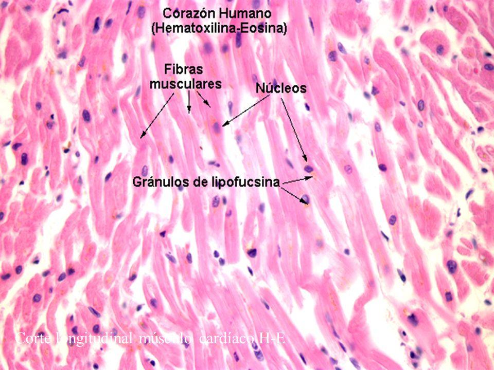 Corte longitudinal músculo cardíaco H-E