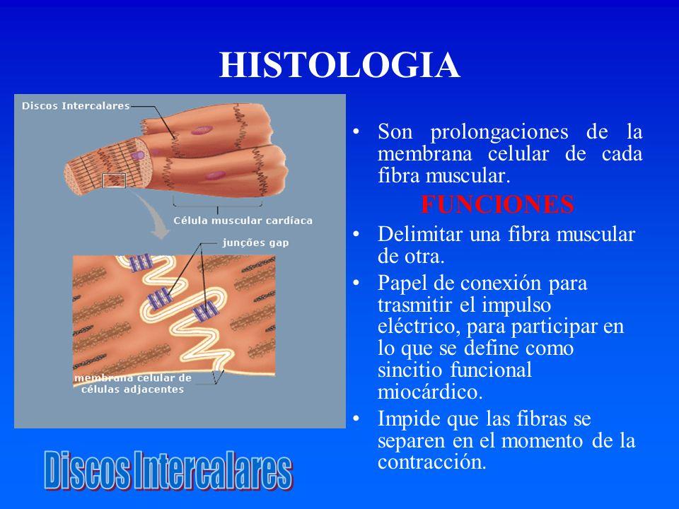 HISTOLOGIA Son prolongaciones de la membrana celular de cada fibra muscular. FUNCIONES Delimitar una fibra muscular de otra. Papel de conexión para tr