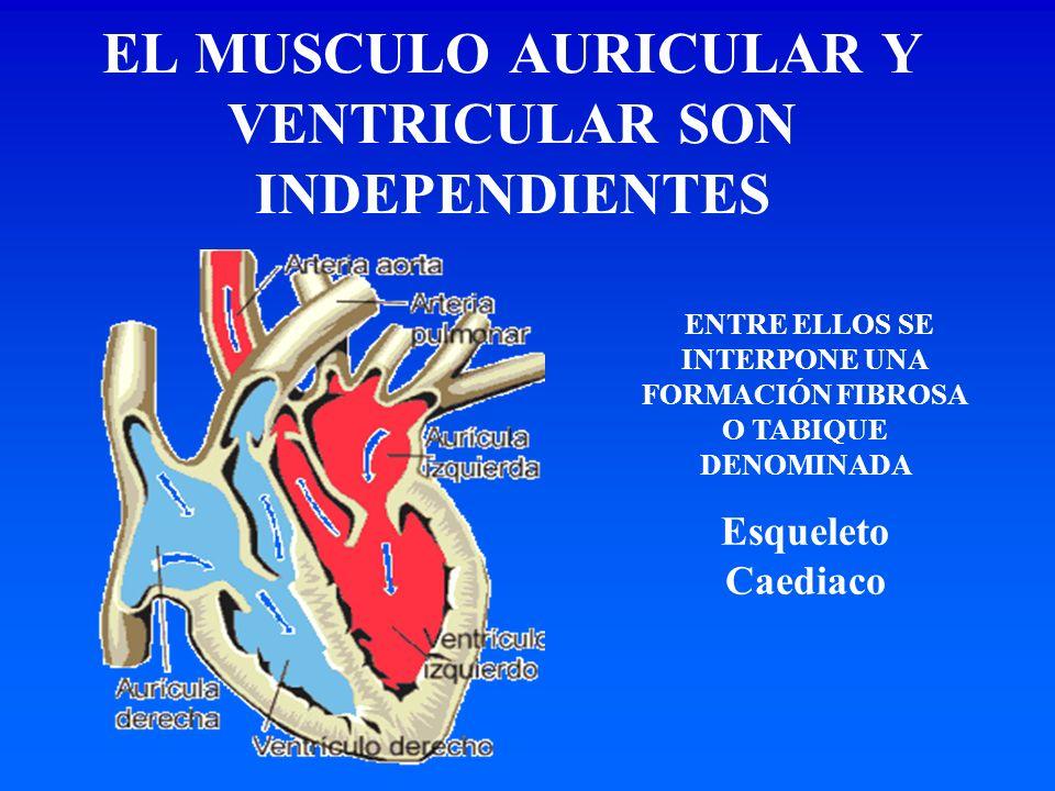 ENTRE ELLOS SE INTERPONE UNA FORMACIÓN FIBROSA O TABIQUE DENOMINADA Esqueleto Caediaco EL MUSCULO AURICULAR Y VENTRICULAR SON INDEPENDIENTES