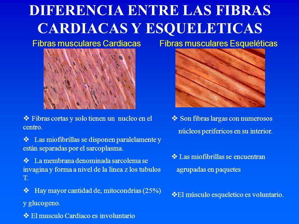 Fibras musculares CardiacasFibras musculares Esqueléticas Fibras cortas y solo tienen un nucleo en el centro. Las miofibrillas se disponen paralelamen
