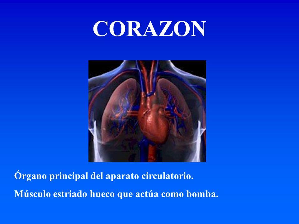 Órgano principal del aparato circulatorio. Músculo estriado hueco que actúa como bomba. CORAZON