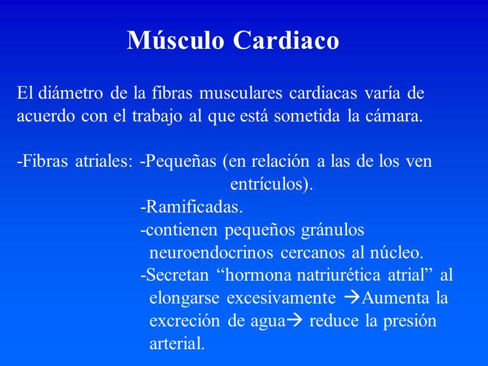 Músculo Cardiaco El diámetro de la fibras musculares cardiacas varía de acuerdo con el trabajo al que está sometida la cámara. -Fibras atriales: -Pequ