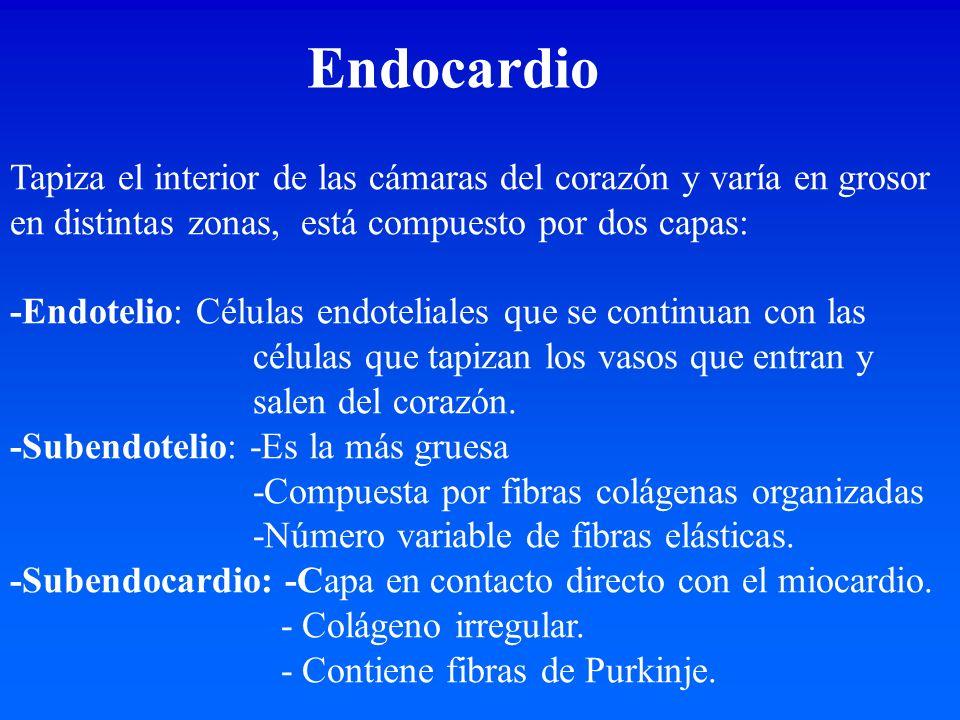 Endocardio Tapiza el interior de las cámaras del corazón y varía en grosor en distintas zonas, está compuesto por dos capas: -Endotelio: Células endot
