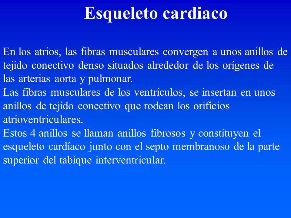 Esqueleto cardiaco En los atrios, las fibras musculares convergen a unos anillos de tejido conectivo denso situados alrededor de los orígenes de las a