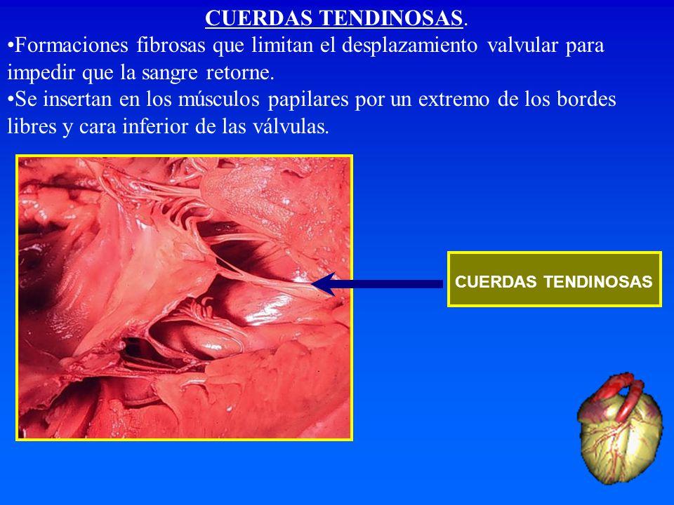 CUERDAS TENDINOSAS. Formaciones fibrosas que limitan el desplazamiento valvular para impedir que la sangre retorne. Se insertan en los músculos papila