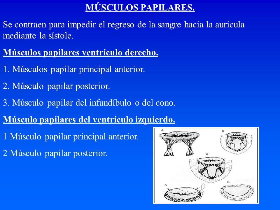 MÚSCULOS PAPILARES. Se contraen para impedir el regreso de la sangre hacia la auricula mediante la sístole. Músculos papilares ventrículo derecho. 1.