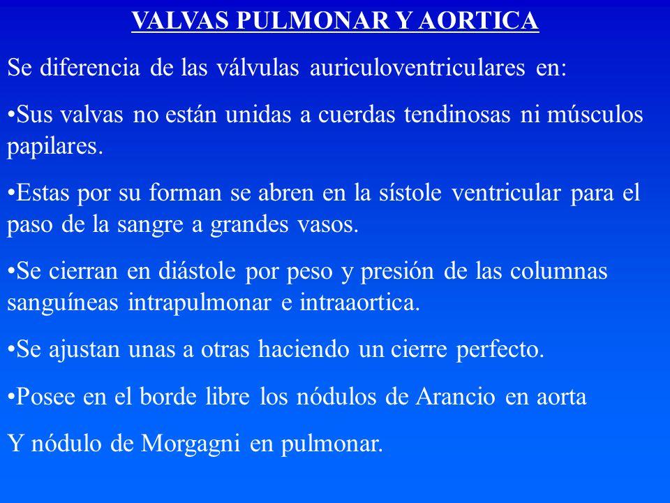 VALVAS PULMONAR Y AORTICA Se diferencia de las válvulas auriculoventriculares en: Sus valvas no están unidas a cuerdas tendinosas ni músculos papilare