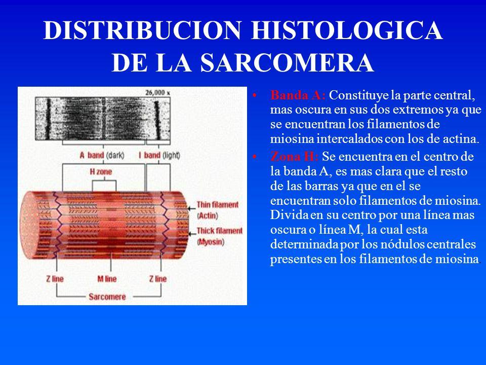 DISTRIBUCION HISTOLOGICA DE LA SARCOMERA Banda A: Constituye la parte central, mas oscura en sus dos extremos ya que se encuentran los filamentos de m