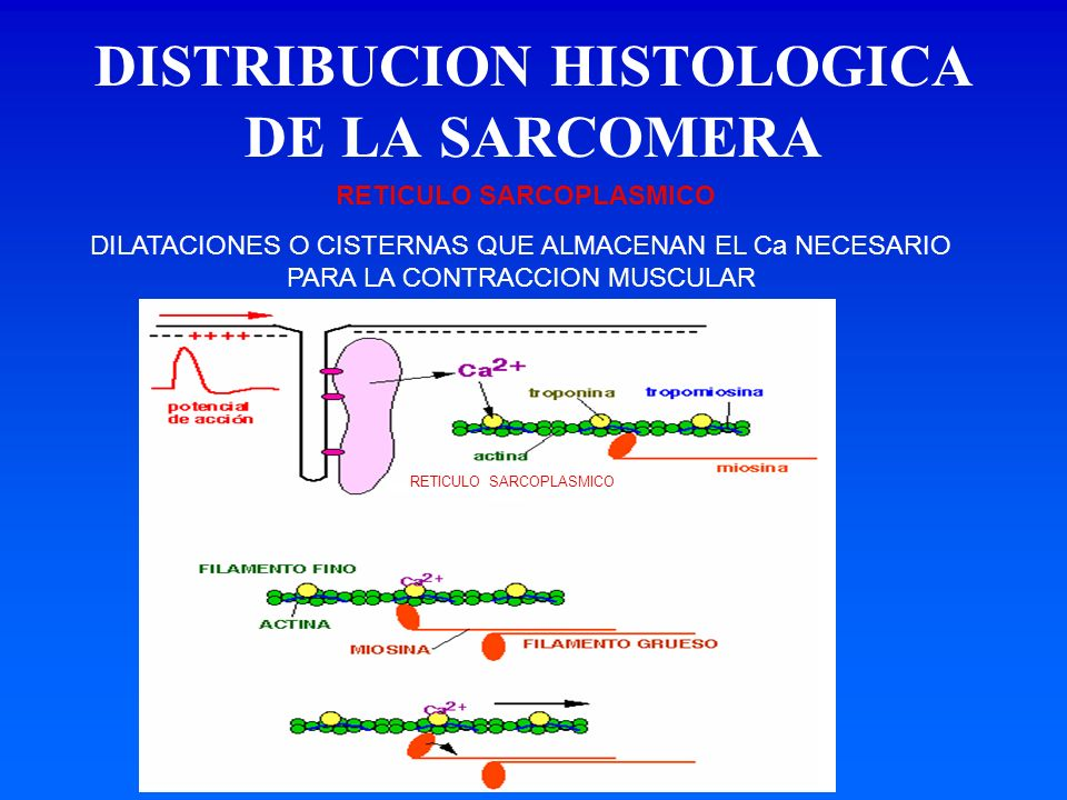 DISTRIBUCION HISTOLOGICA DE LA SARCOMERA DILATACIONES O CISTERNAS QUE ALMACENAN EL Ca NECESARIO PARA LA CONTRACCION MUSCULAR RETICULO SARCOPLASMICO