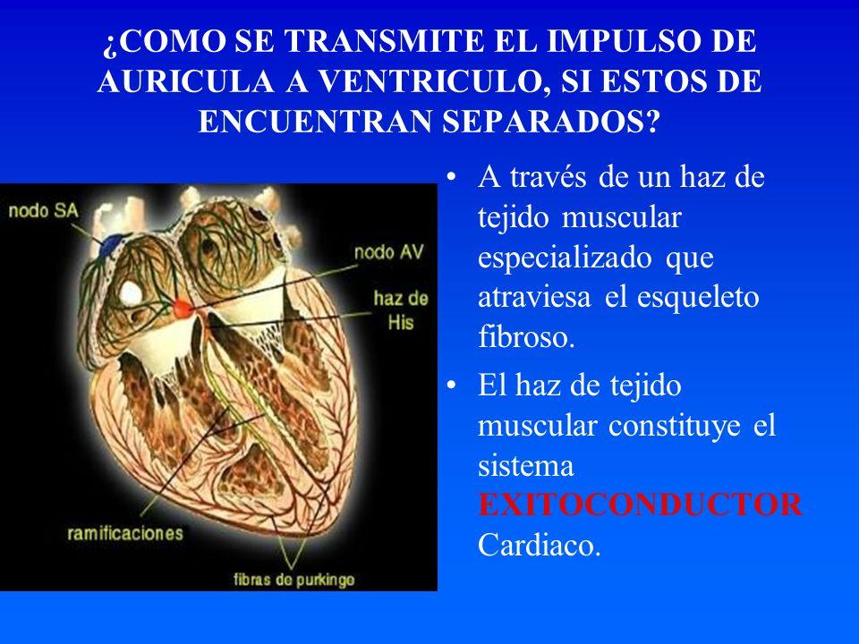 ¿COMO SE TRANSMITE EL IMPULSO DE AURICULA A VENTRICULO, SI ESTOS DE ENCUENTRAN SEPARADOS? A través de un haz de tejido muscular especializado que atra