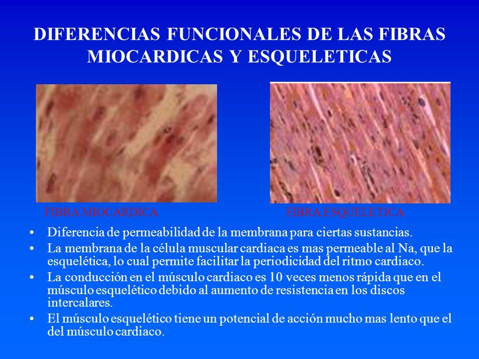 DIFERENCIAS FUNCIONALES DE LAS FIBRAS MIOCARDICAS Y ESQUELETICAS Diferencia de permeabilidad de la membrana para ciertas sustancias. La membrana de la