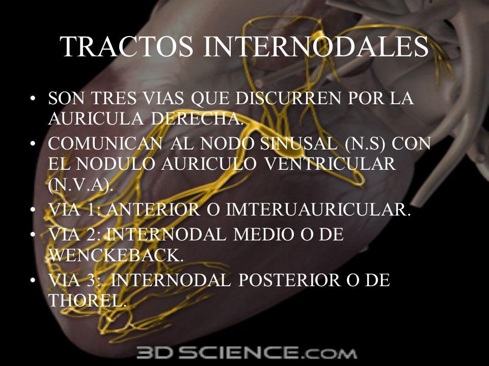 TRACTOS INTERNODALES SON TRES VIAS QUE DISCURREN POR LA AURICULA DERECHA. COMUNICAN AL NODO SINUSAL (N.S) CON EL NODULO AURICULO VENTRICULAR (N.V.A).
