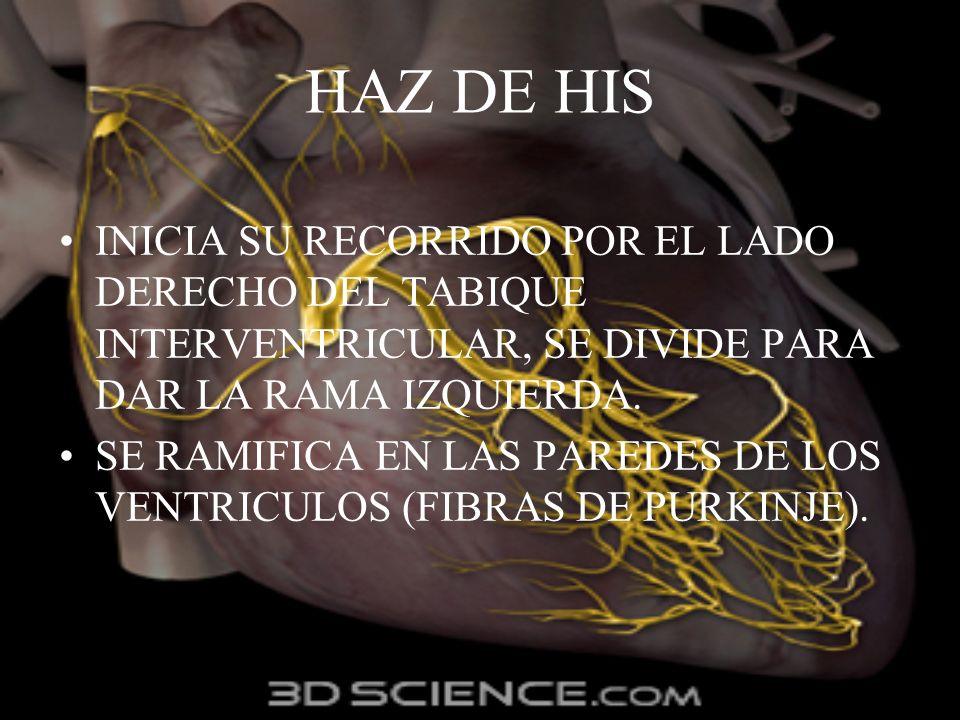 HAZ DE HIS INICIA SU RECORRIDO POR EL LADO DERECHO DEL TABIQUE INTERVENTRICULAR, SE DIVIDE PARA DAR LA RAMA IZQUIERDA. SE RAMIFICA EN LAS PAREDES DE L
