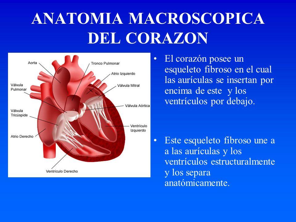 ANATOMIA MACROSCOPICA DEL CORAZON El corazón posee un esqueleto fibroso en el cual las aurículas se insertan por encima de este y los ventrículos por