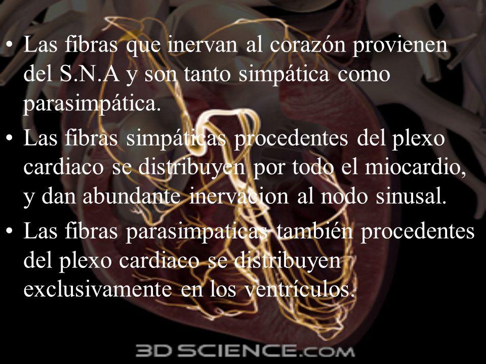 Las fibras que inervan al corazón provienen del S.N.A y son tanto simpática como parasimpática. Las fibras simpáticas procedentes del plexo cardiaco s