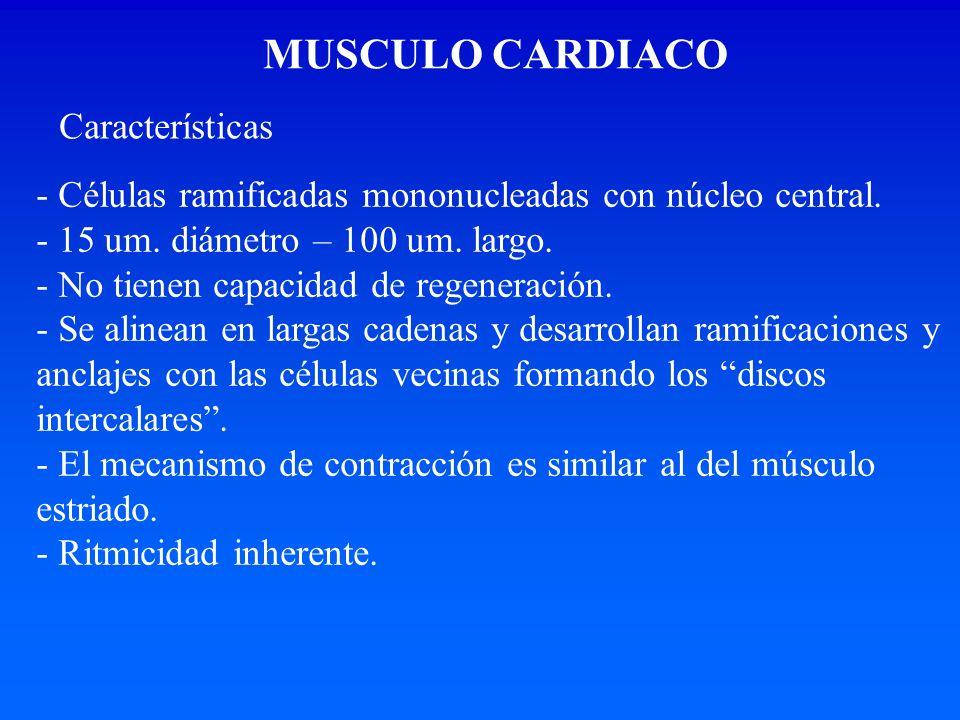 MUSCULO CARDIACO - Células ramificadas mononucleadas con núcleo central. - 15 um. diámetro – 100 um. largo. - No tienen capacidad de regeneración. - S