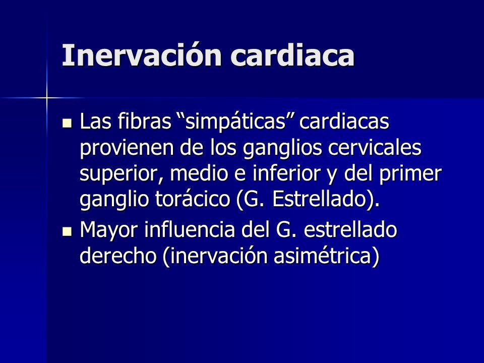 Inervación cardiaca Las fibras simpáticas cardiacas provienen de los ganglios cervicales superior, medio e inferior y del primer ganglio torácico (G.