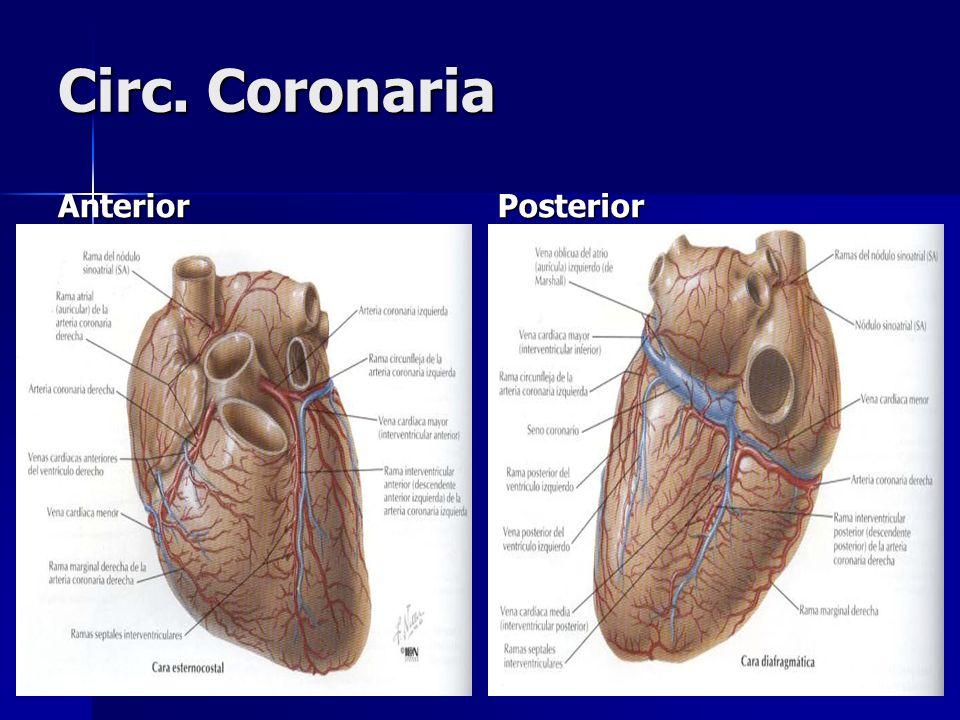 Circ. Coronaria AnteriorPosterior