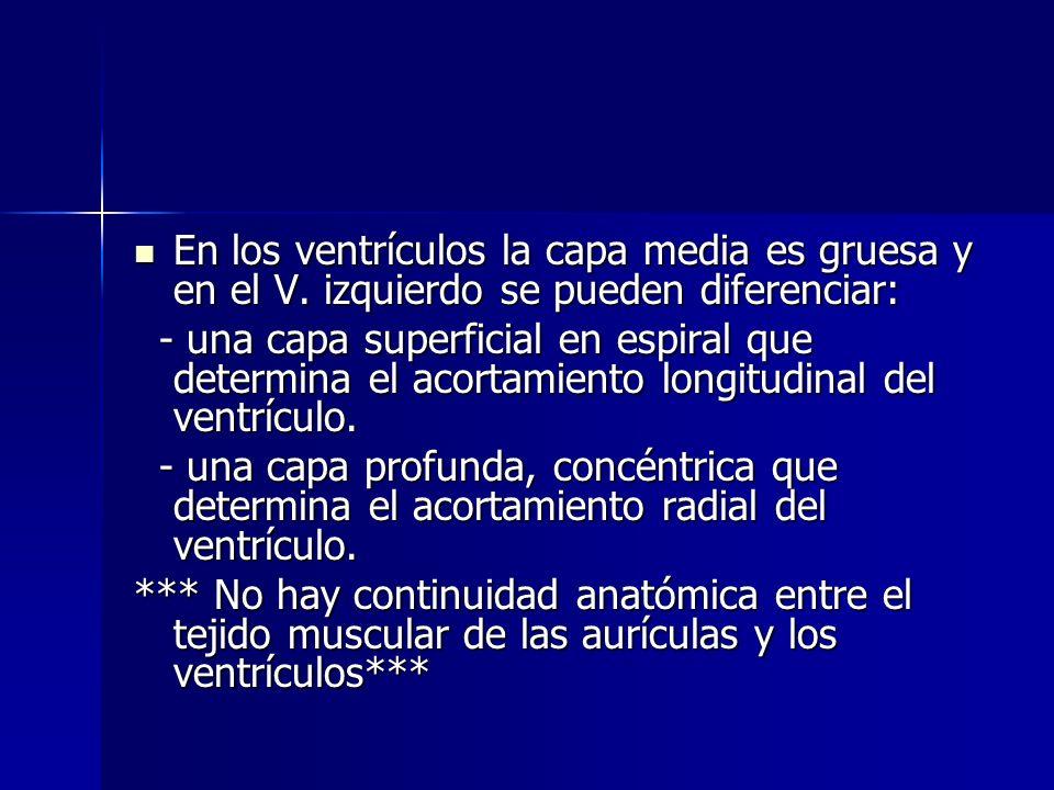En los ventrículos la capa media es gruesa y en el V. izquierdo se pueden diferenciar: En los ventrículos la capa media es gruesa y en el V. izquierdo