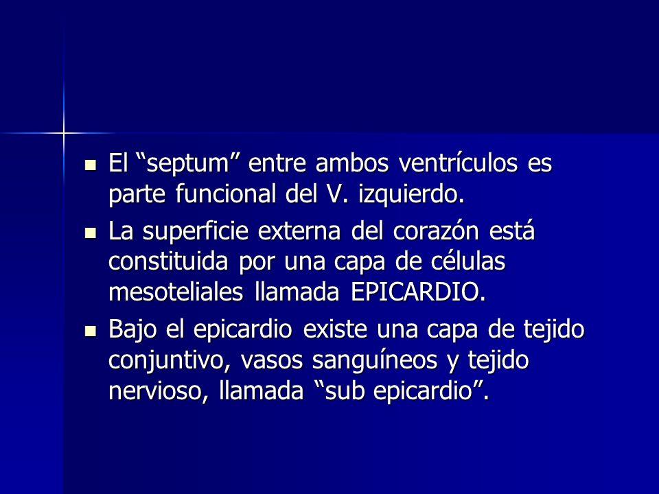 El septum entre ambos ventrículos es parte funcional del V. izquierdo. El septum entre ambos ventrículos es parte funcional del V. izquierdo. La super