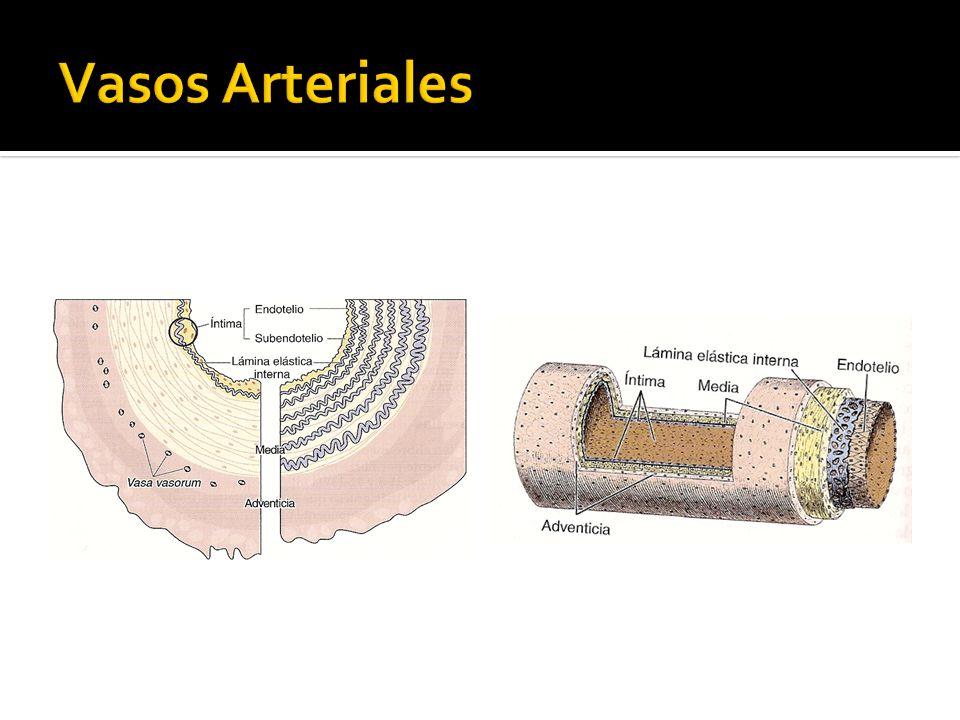 Pérdida de la rigidez estructural.Capa endotelial sin membrana basal.