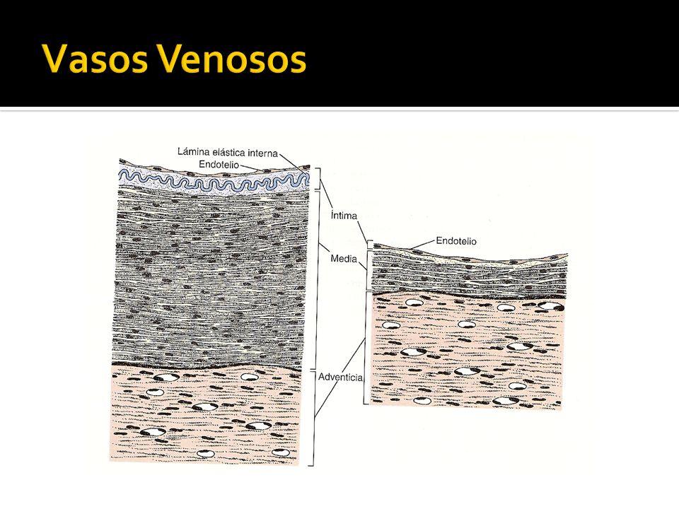 Presencia de válvulas; pliegues semilunares de la capa endotelial.