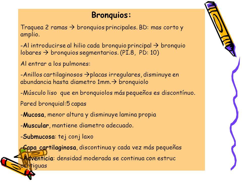 Bronquios: Traquea 2 ramas bronquios principales. BD: mas corto y amplio. -Al introducirse al hilio cada bronquio principal bronquio lobares bronquios