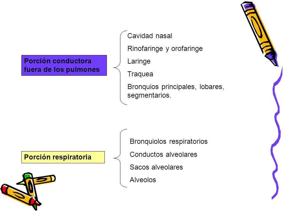 Cavidad nasal Rinofaringe y orofaringe Laringe Traquea Bronquios principales, lobares, segmentarios. Porción conductora fuera de los pulmones Porción