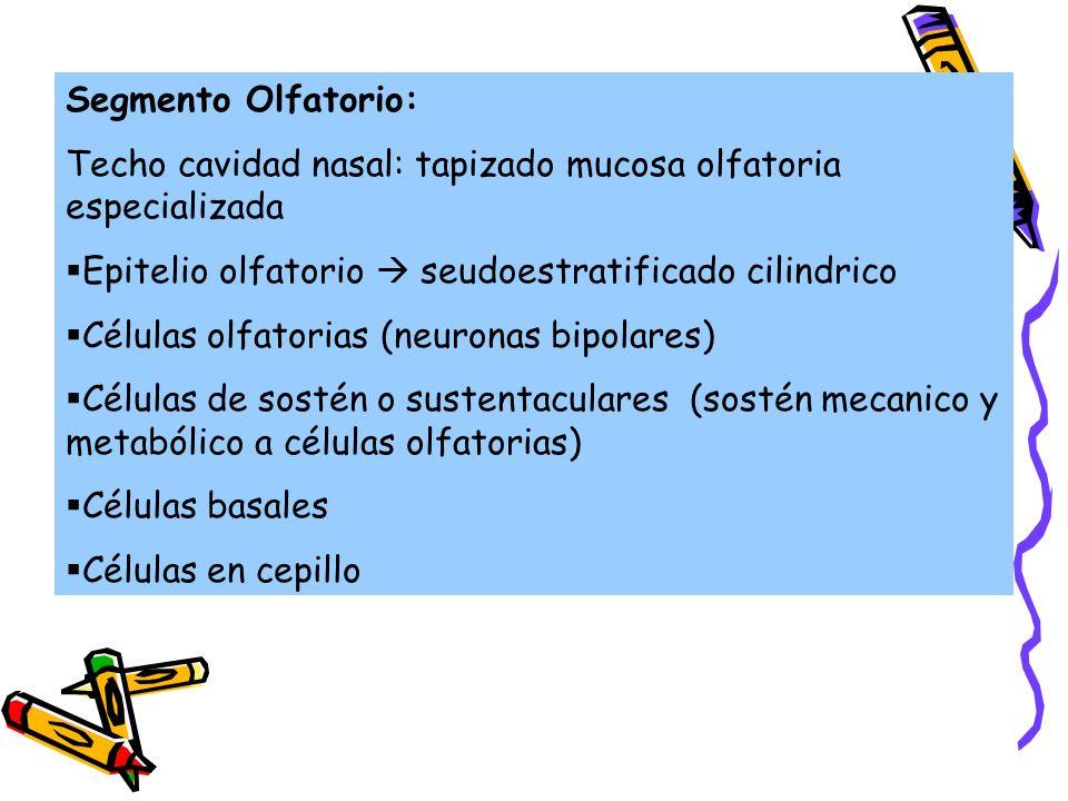 Segmento Olfatorio: Techo cavidad nasal: tapizado mucosa olfatoria especializada Epitelio olfatorio seudoestratificado cilindrico Células olfatorias (