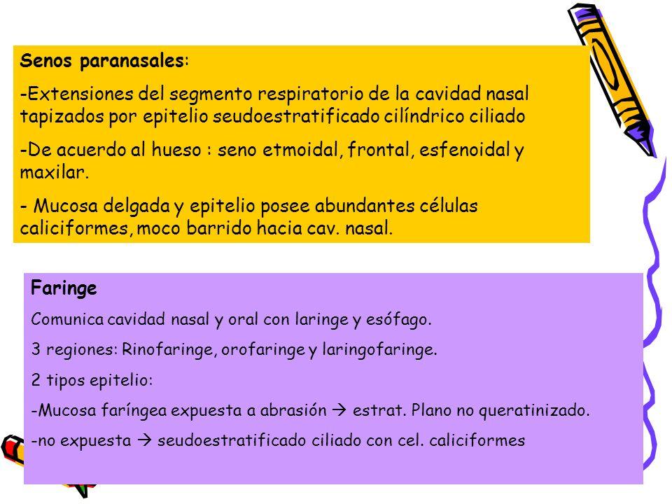Senos paranasales: -Extensiones del segmento respiratorio de la cavidad nasal tapizados por epitelio seudoestratificado cilíndrico ciliado -De acuerdo