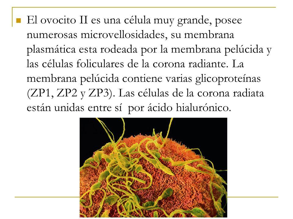 El ovocito II es una célula muy grande, posee numerosas microvellosidades, su membrana plasmática esta rodeada por la membrana pelúcida y las células