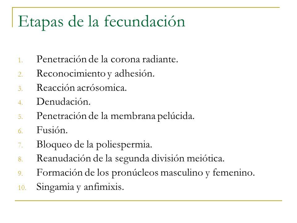 Etapas de la fecundación 1. Penetración de la corona radiante. 2. Reconocimiento y adhesión. 3. Reacción acrósomica. 4. Denudación. 5. Penetración de
