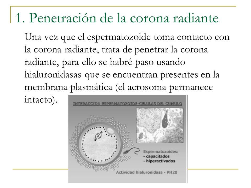 1. Penetración de la corona radiante Una vez que el espermatozoide toma contacto con la corona radiante, trata de penetrar la corona radiante, para el