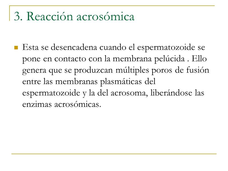 3. Reacción acrosómica Esta se desencadena cuando el espermatozoide se pone en contacto con la membrana pelúcida. Ello genera que se produzcan múltipl