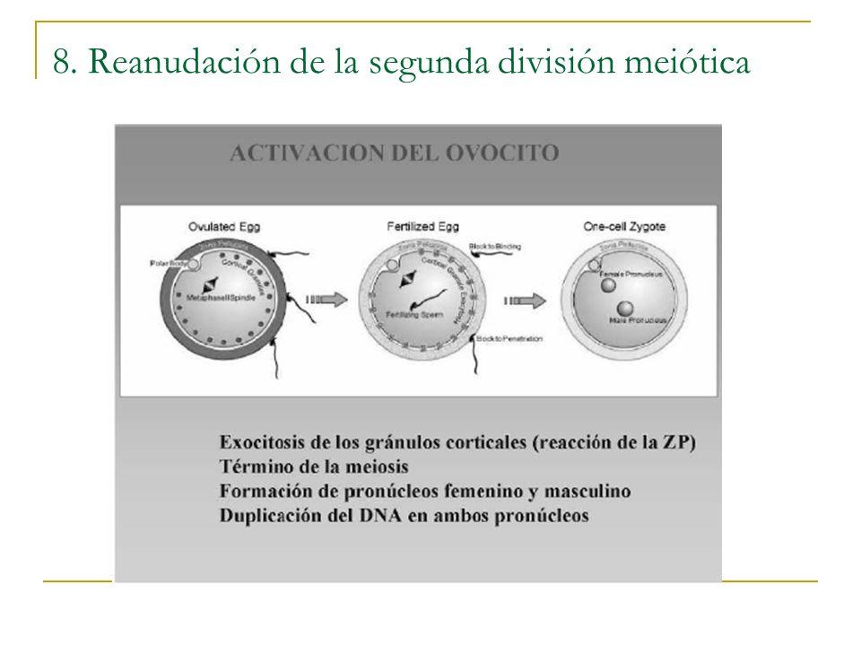8. Reanudación de la segunda división meiótica