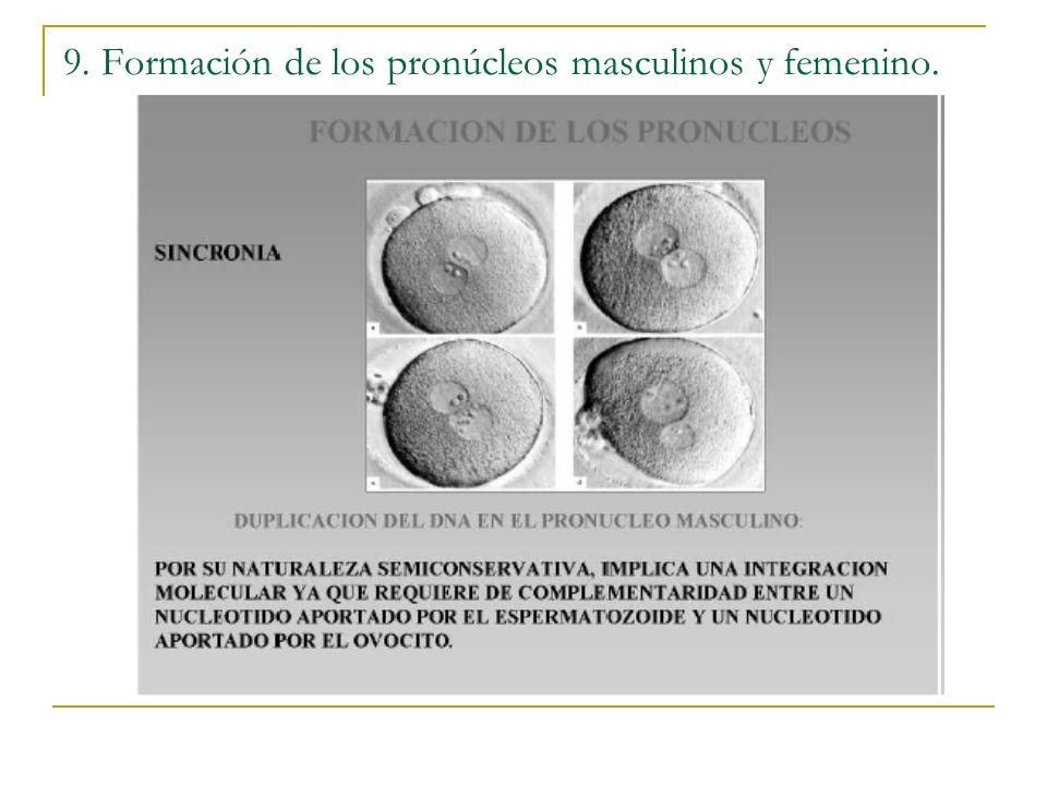 9. Formación de los pronúcleos masculinos y femenino.
