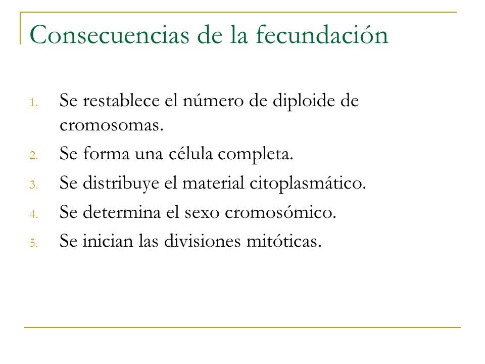 Consecuencias de la fecundación 1. Se restablece el número de diploide de cromosomas. 2. Se forma una célula completa. 3. Se distribuye el material ci