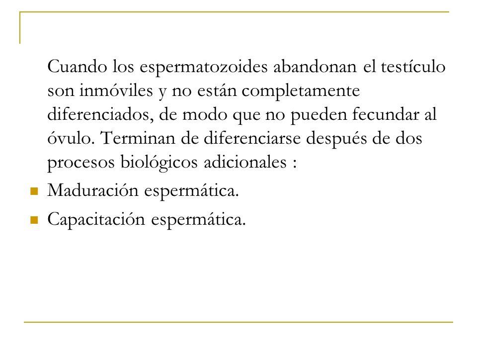 Cuando los espermatozoides abandonan el testículo son inmóviles y no están completamente diferenciados, de modo que no pueden fecundar al óvulo. Termi