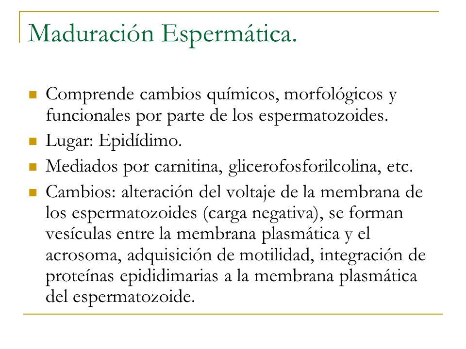 Maduración Espermática. Comprende cambios químicos, morfológicos y funcionales por parte de los espermatozoides. Lugar: Epidídimo. Mediados por carnit