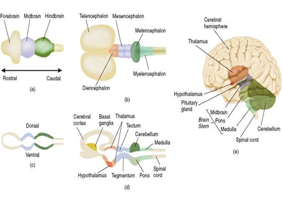 3-4 semanas Para el día 28, el desarrollo del tubo neural se cierra. –Parte anterior desde el día 24 –Parte posterior desde el día 26 La parte rostral