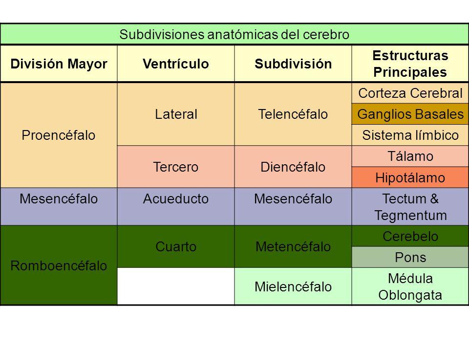 5-6 semanas El proencéfalo se divide en 3 partes separadas, que se convierte en los ventrículos laterales y el tercer ventrículo. –La sección alrededo