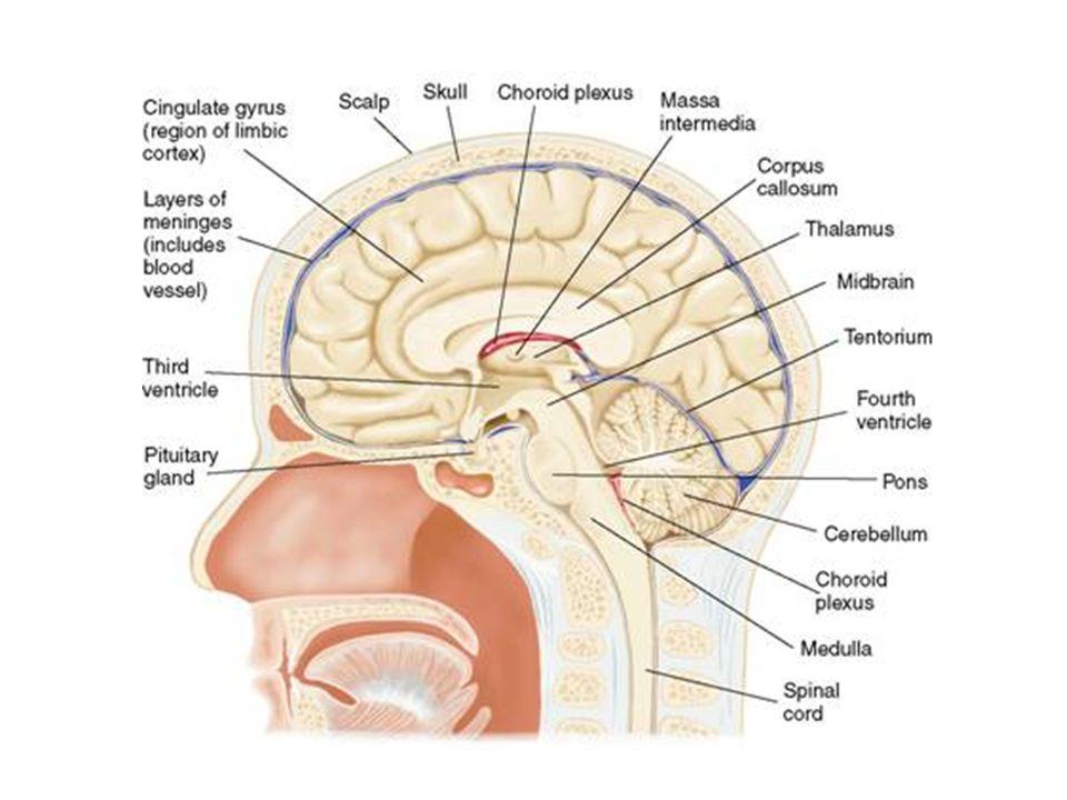 Subdivisiones anatómicas del cerebro División MayorVentrículoSubdivisión Estructuras Principales Proencéfalo LateralTelencéfalo Corteza Cerebral Gangl
