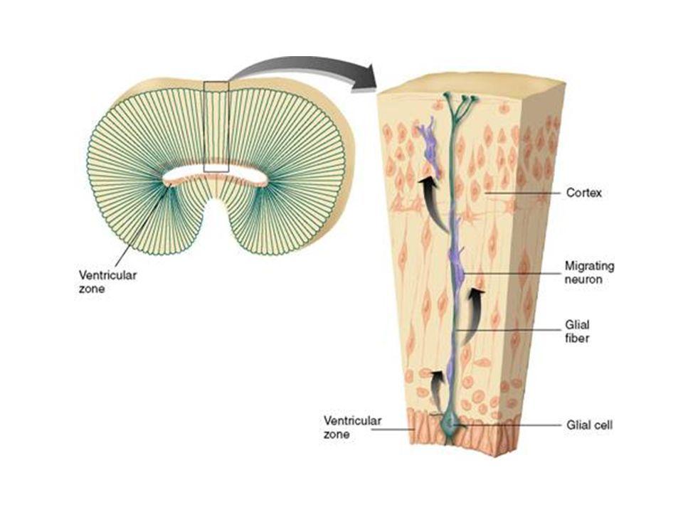 3-5 meses Desarrollo de la corteza Se desarrolla de interior a exterior. –Las primeras células que se producen migran desde la zona ventricular una co