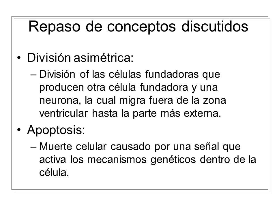 Células fundadoras: –Células de la zona ventricular que se dividen para aumentar las células del SNC. División simétrica: –División de las células fun