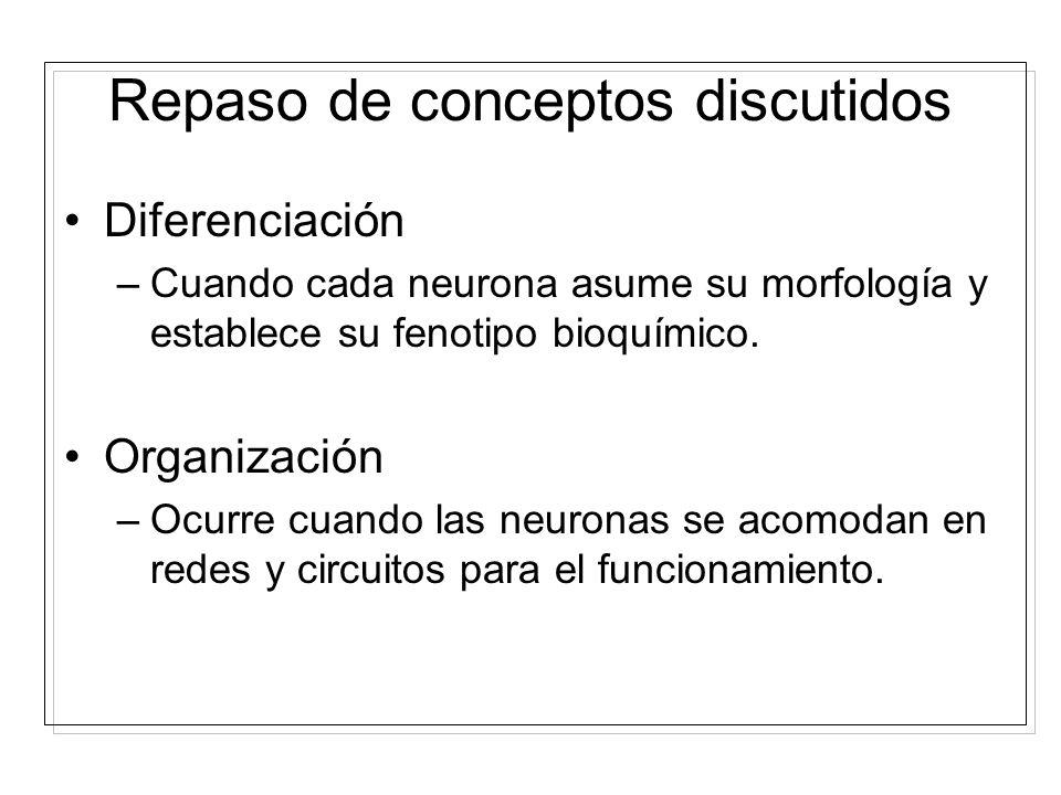 División asimétrica: –División of las células fundadoras que producen otra célula fundadora y una neurona, la cual migra fuera de la zona ventricular