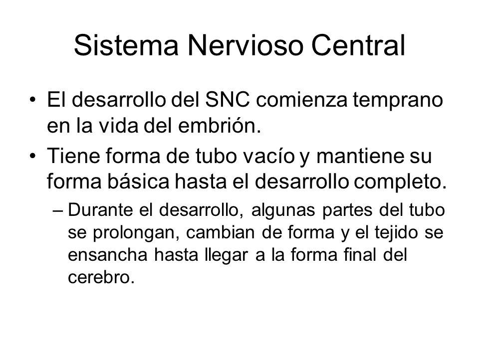 Sistema Nervioso Central El desarrollo del SNC comienza temprano en la vida del embrión.